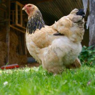 poule brahma fauve herminé noir