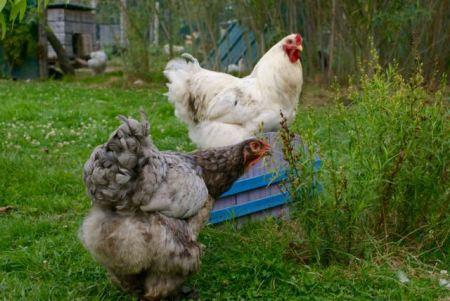 Fraggle en pleine cueillette sous l'oeil bienveillant du coq Extra