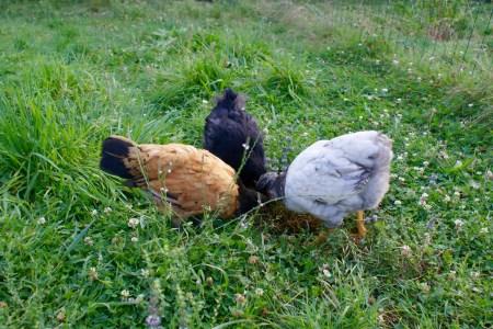 trois poulettes dans l'herbe, qui complotent !