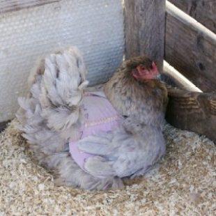 Miss Lila : poule Brahma bleue