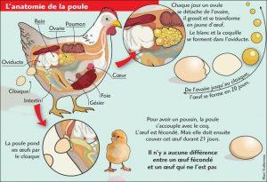 Schéma retraçant la production d'un œuf chez la poule