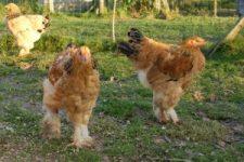 Neiva & Narym : jeunes coqs brahmas fauves herminés noirs