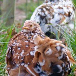 poulette pékin millefleur