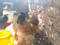 jeunes brahma fauves au Niger