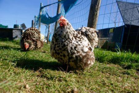 Cad' et Bury les deux poules pékin chocolat cailloutée