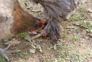 Poule prise en flagrant délit de picage jusqu'au sang, sur une congénère.