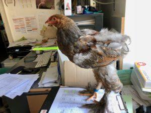 petit poulet sur le bureau