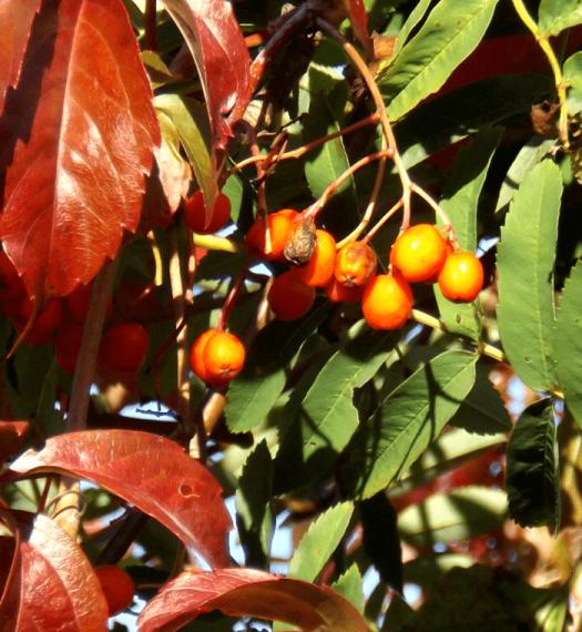 Orange Rowan Berries A Season By A River