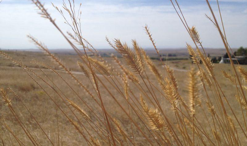 Wild grass at the Little Bighorn Battlefield, Montana