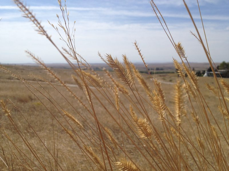 Wild grass at the Little Bighorn Battlefield, Montana