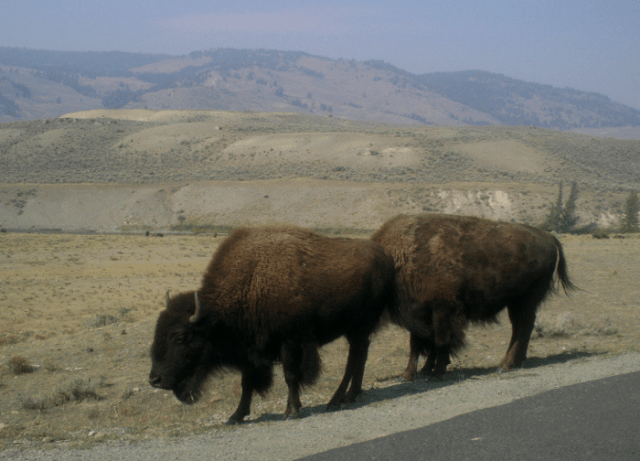 Bison beside the road in northeast Yellowstone