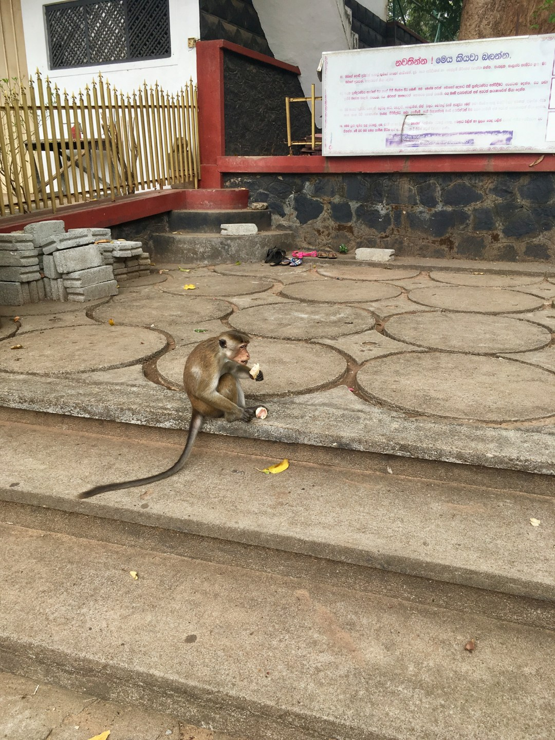 A monkey eats stolen snacks near Dambulla