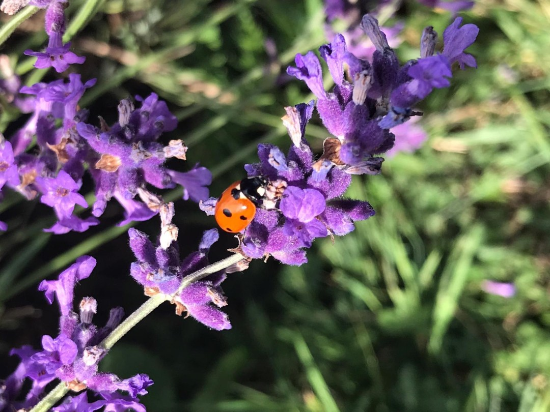 Ladybug on English lavender