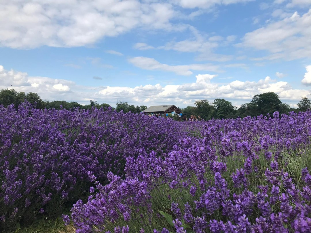 A wooden gazebo sits in the background of lavender field at Mayfield Lavender Farm