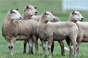 """Bildnachweis: """"Sheepdog Trials in California"""" by SheltieBoy CC-BY 2.0"""
