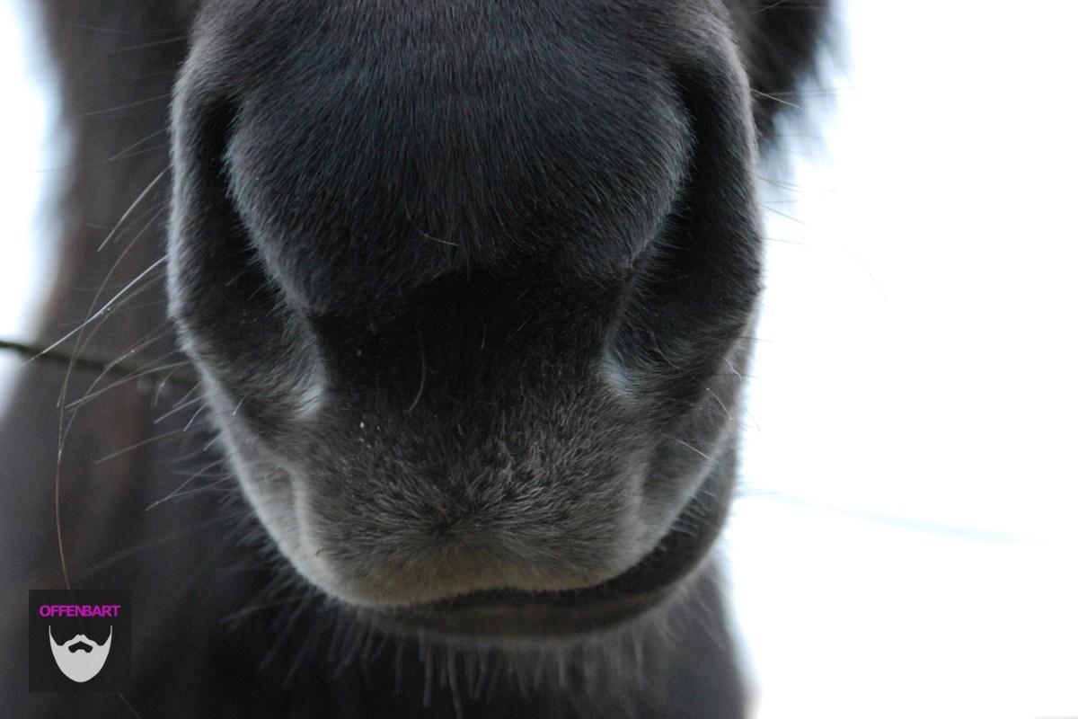 Bildnachweis: Mule by Katrine Thielke CC-BY 2.0, bearbeitet von Simon Mallow.