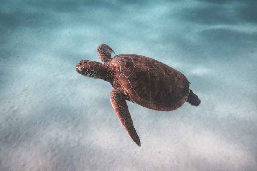 turtle swimming in clear sea