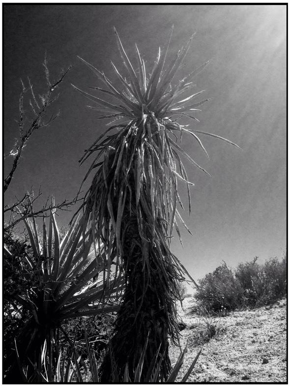 10-2-2015-Yucca-Shaman-590px