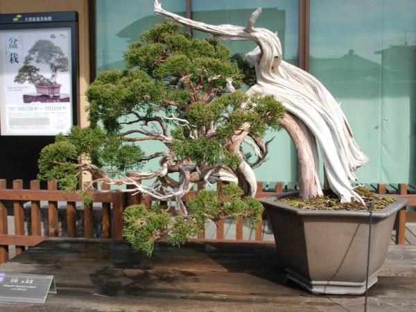 ジン・シャリのある松盆栽