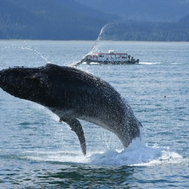 Whale jumping in Alaska cruise tour