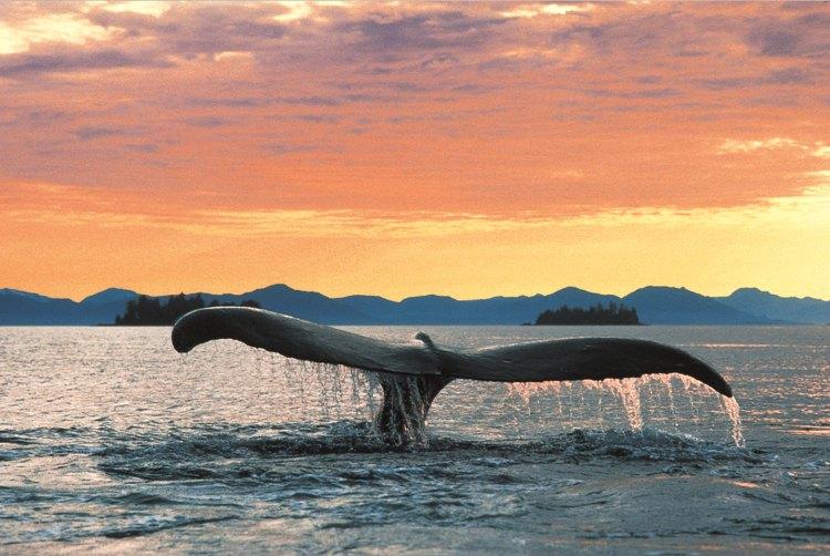 Holland America Cruise Line Alaska Whale