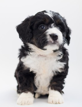 A cute Bernedoodle puppy