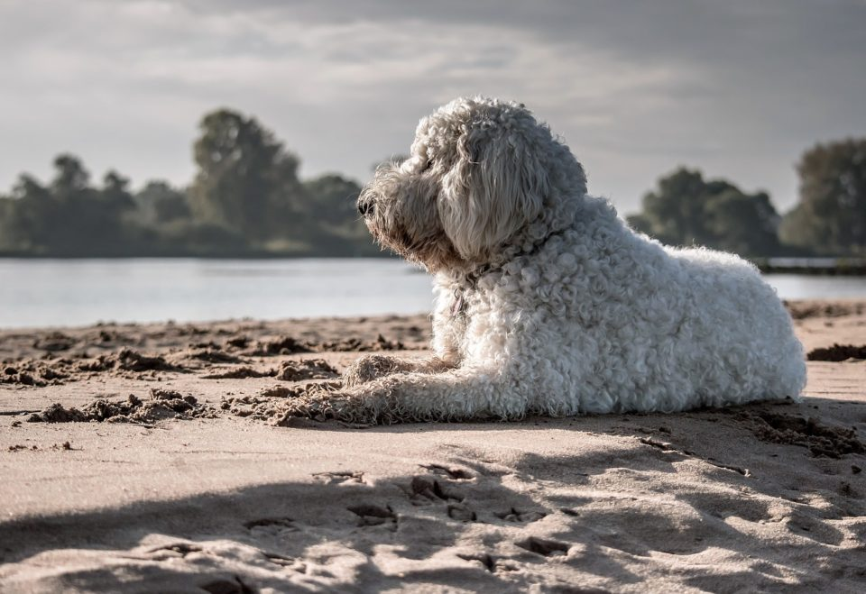 Goldendoodle on a beach staring into the distance
