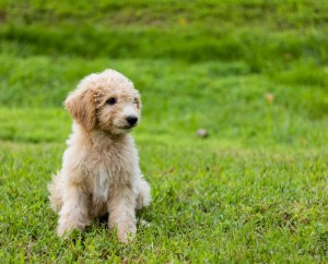 A cute goldendoodle puppy in the garden