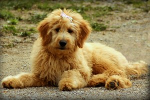 A well groomed goldendoodle