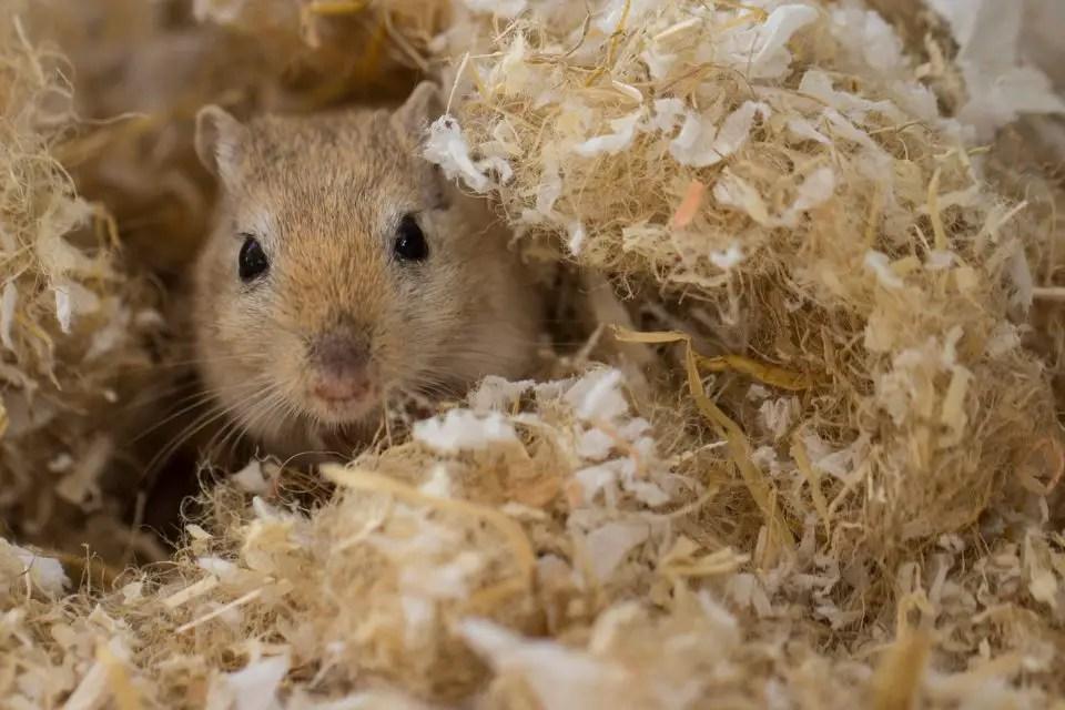 Best bedding for burrowing gerbils