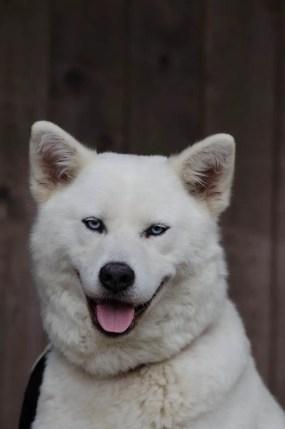 A smiling white dog