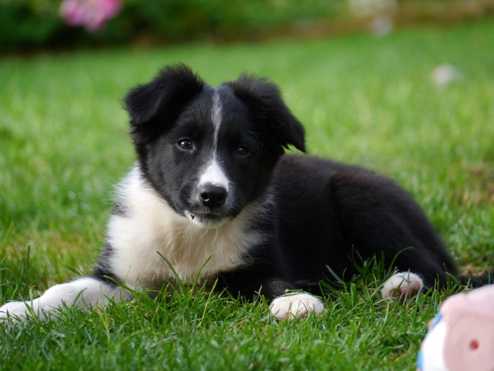 Border Collie Beagle Mix Guide Size Temperament Training And More