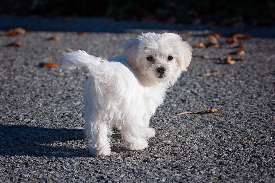 bichon frise vs maltese maltese vs bichon frise a detailed comparison of both 6692