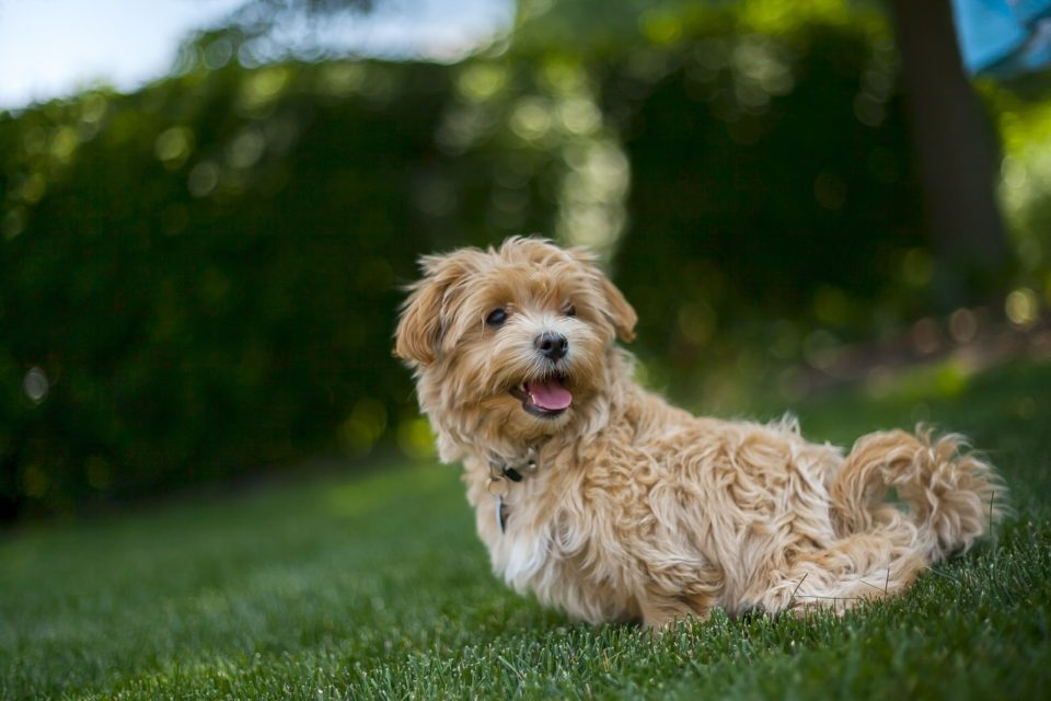 Shih Poo Vs Maltipoo A Detailed Comparison Of Both Dog Breeds