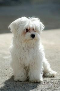 A small white dog