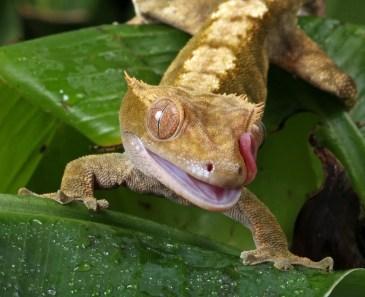 A Small reptile