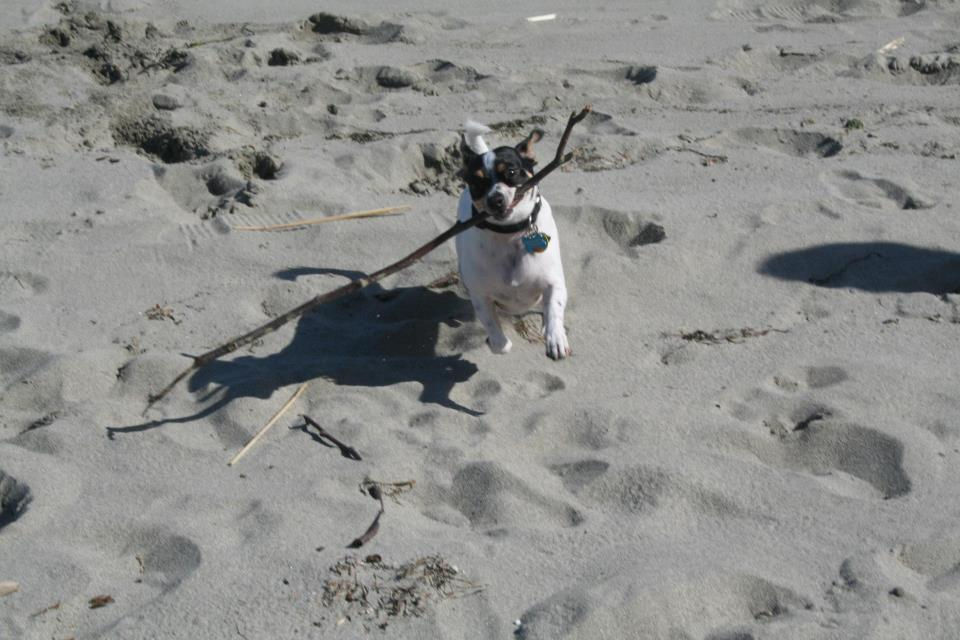 Dog with a stick on a beach
