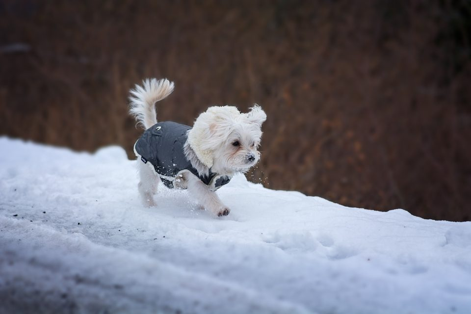 Dog in a coat