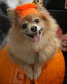 A dog in a costume