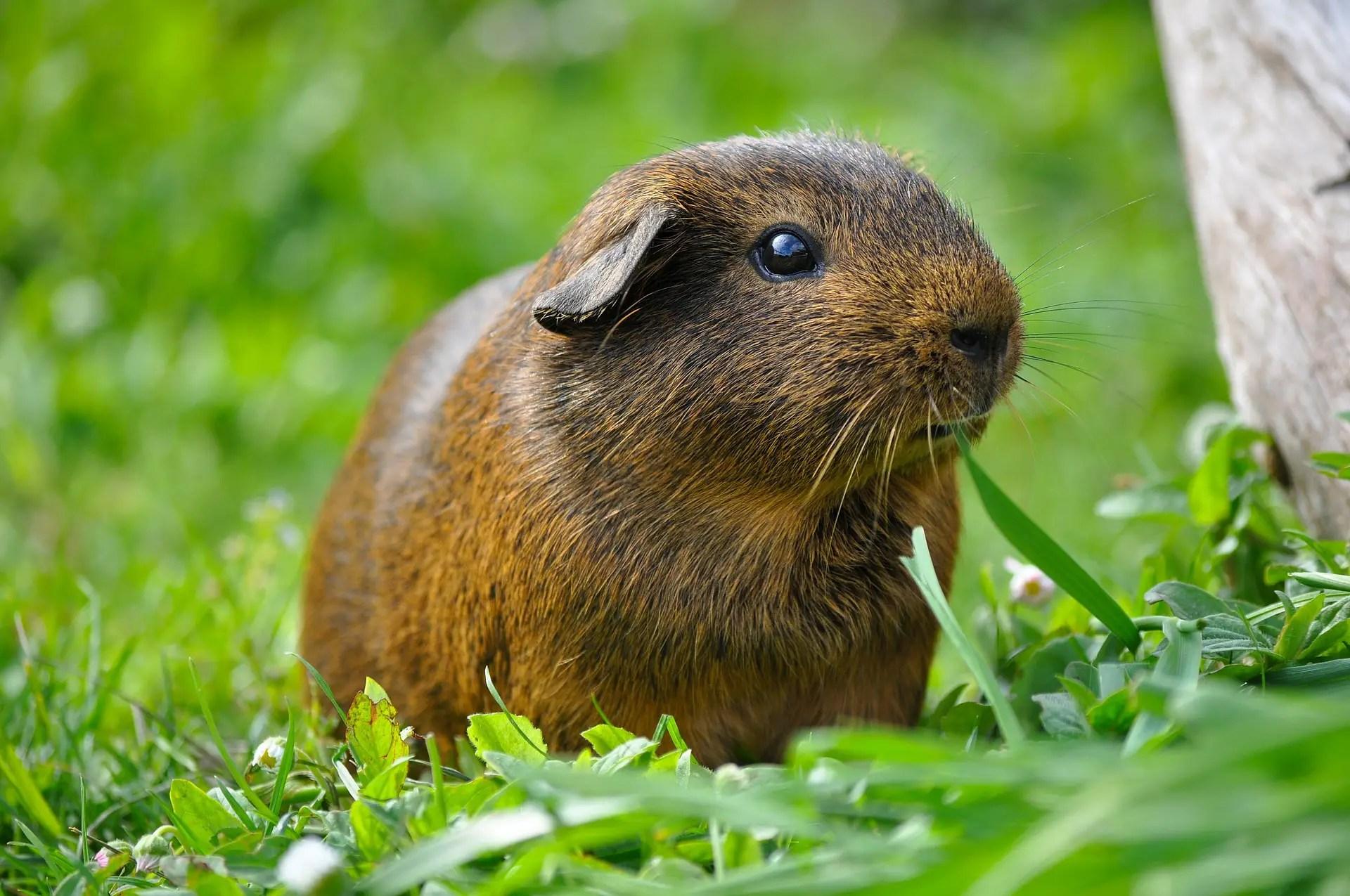 guinea-pig-498848_1920