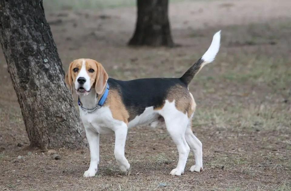 A small beagle