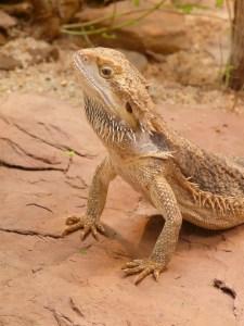 A bearded dragon