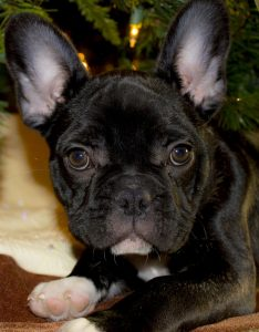A french bulldog