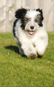 A old English sheepdog