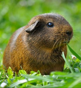 A brown mammal eating grass