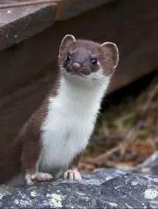A weasel