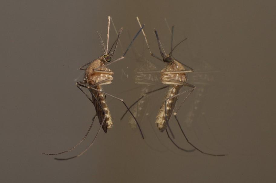 CONSEJOS| Cómo alejar al mosquito tigre de tu casa