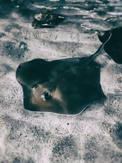 Sting Ray1 MM http://offshoots12.com