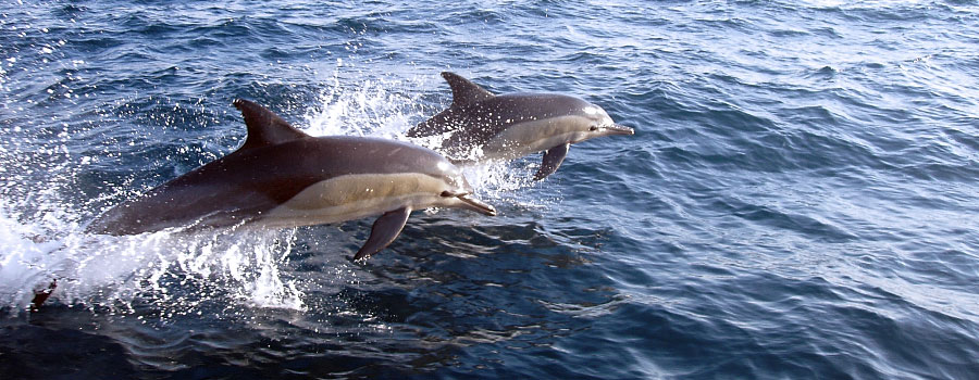 Playful common dolphins