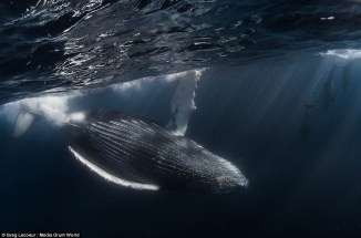 Graceful humpback whale